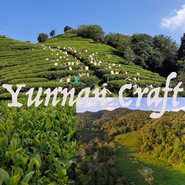 Чайные плантации Айлаошань для производства ГАБА улуна