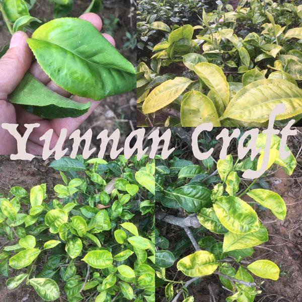 Yangta yellow tea leaf varietal