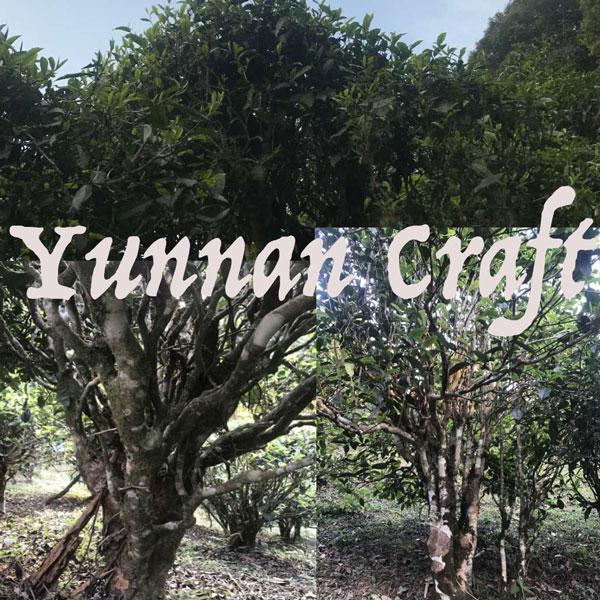 Yiwu Lao He Zhai arbor tea trees