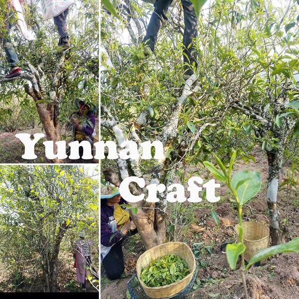 Lao Wu Shan Gushu spring harvest
