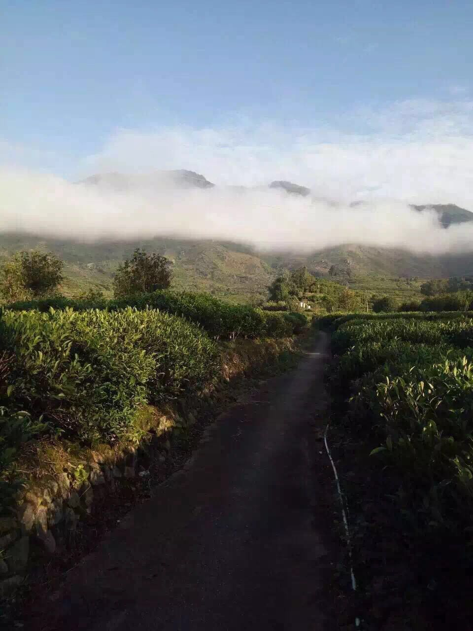Dancong Tea plantation