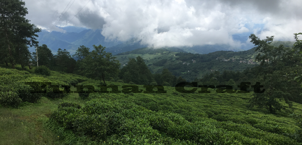 Nanjian tea plantations