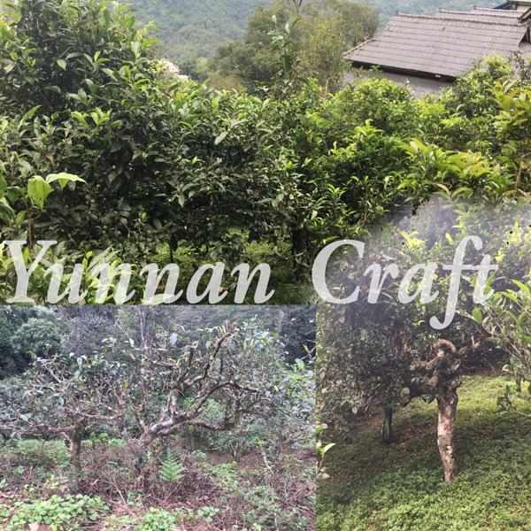 Nannuoshan Ancient Tea Trees