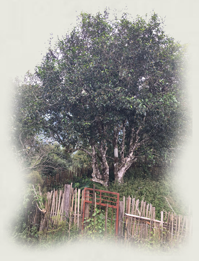 Ancient tea tree ( gu shu )