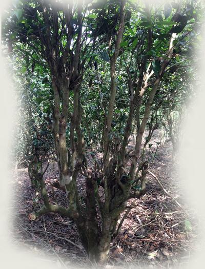 Arbor tea tree