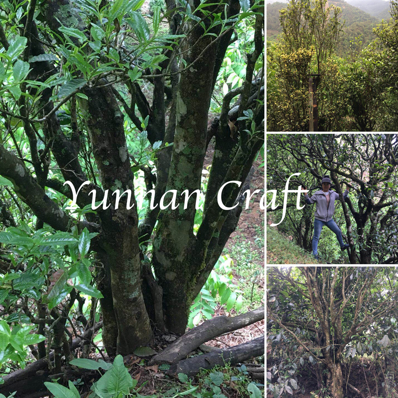 Wuliang Shan Gushu - ancient tea trees