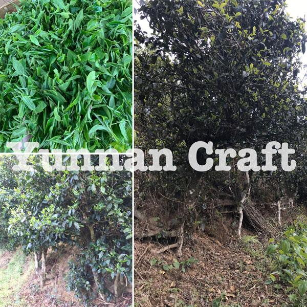 Wuliang mountain arbor tea trees