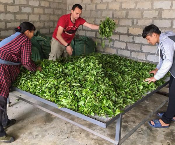 fresh tea leafs