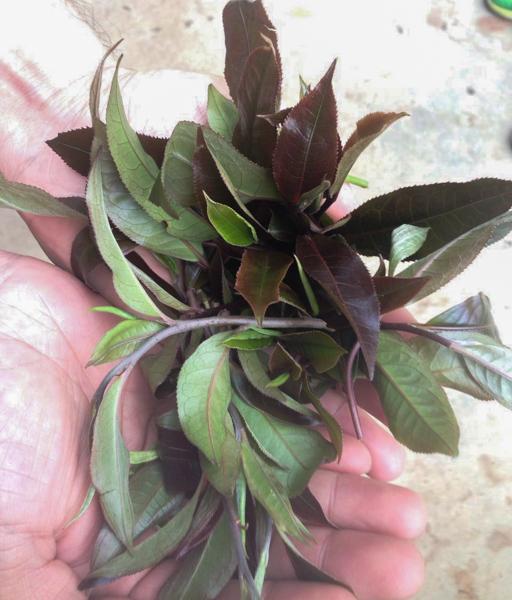 purple leafs