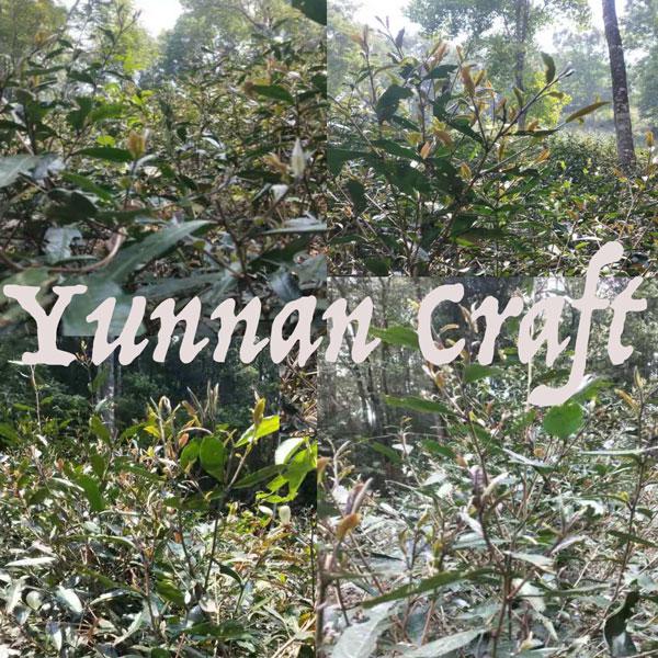 Zi Juan Purple Varietal Tea trees in forest